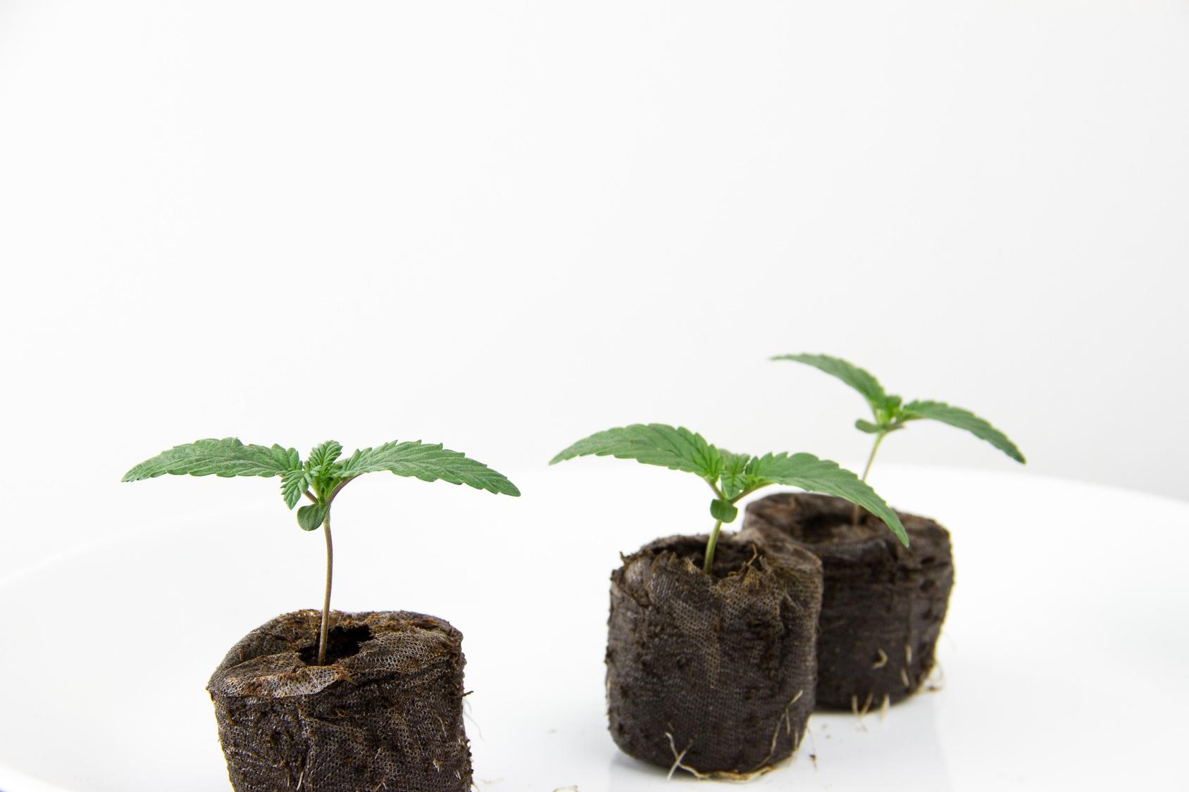 Anwalt BtM Kanzlei Louis & Michaelis unerlaubter Anbau von Cannabis